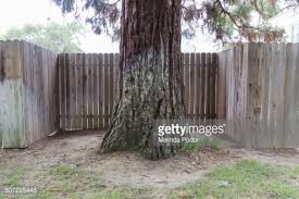fence going around a large tree stock photo getty images
