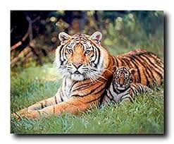 amazon com tiger and cubs wildlife print poster