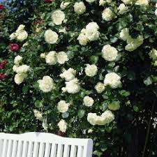 17 50 rose white new dawn moon garden pinterest moon garden
