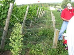 vineyard trellis and training winemaker magazine