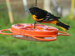 Oklahoma Birds images Orioles in oklahoma are you ready wild birds unlimited jpg