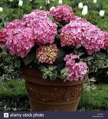 balkon blumen hortensie balkonblumen blumen auf terrasse gartenblumen stock