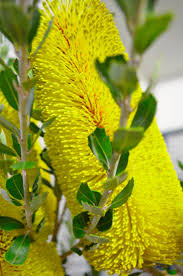 queensland native plants 136 best gardening australian native plants images on pinterest