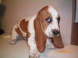 afghan hound adoption florida basset hound puppies in iowa