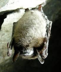 small bat bat scientists see small signs of at williams lake