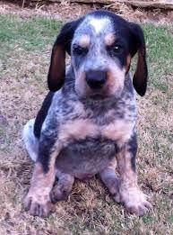 bluetick coonhound decals 12 best bluetick coonhound images on pinterest bluetick