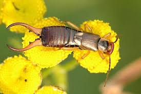 earwigs facts myths and natural pest control owlcation