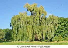 weeping willow tree in the park pictures search photographs