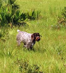 affenpinscher a vendre german wirehaired pointer pictures posters news and videos on