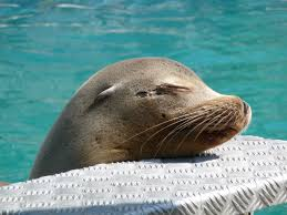 sensitive sea lion whiskers get the job done wired