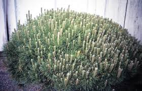All Year Flowering Shrubs - all year shrubs