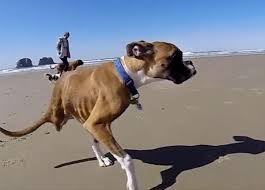 boxer dog youtube duncan the two legged boxer becomes a youtube video star