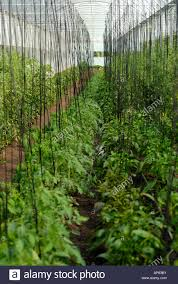 organic tomato plants on a trellis system inside a greenhouse