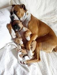 boxer dog mean boxer energetic and funny dog animal and doggies