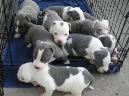 american pitbull terrier puppies louisiana american pit bull terrier puppies for sale blue and gray pitbulls