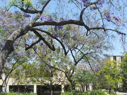 tree with purple flowers flower power tour caltech
