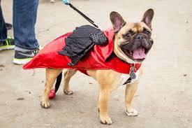 French Bulldog Costumes Halloween French Bulldogs Halloween Costumes Sauvie Island