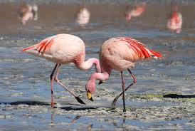 flamingo wikipedia