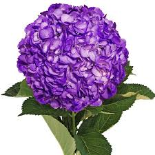 purple hydrangea fresh flowers airbrushed purple hydrangeas 15