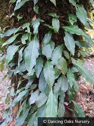 hydrangea integrifolia evergreen climbing hydrangea u2013 dancing