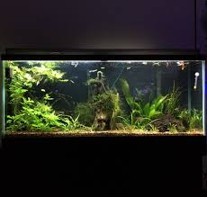 55 gallon aquarium light my 55 gallon low tech nearly self sufficient planted community