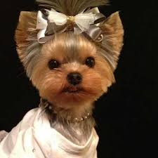 haircuts for yorkie dogs females short haircut for yorkie girl pet grooming pinterest short