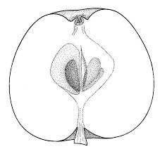 apple biological drawings of fruit formation in plants resources