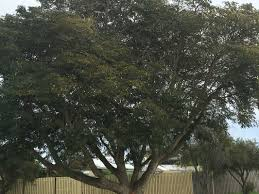 australian native plants brisbane tree lopping and tree removal brisbane tree lopping and tree