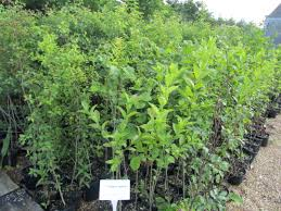 native plants for hedging native farm hedging mix buy hedge plants online mill farm plants