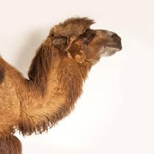 bactrian camel national geographic