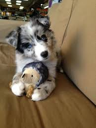 4 australian shepherd x dalmation the 25 best border collie blue merle ideas on pinterest border