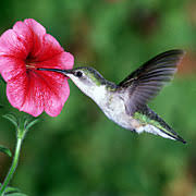 hummingbird flowers attracting hummingbirds using the best loved flowers and plants