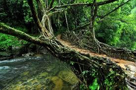 living root bridges meghalaya a marvel of nature
