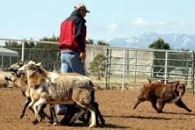 australian shepherd breeders los angeles heartfire australian shepherds