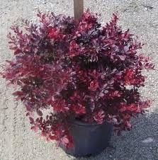 10 best mattie plant list images on plant