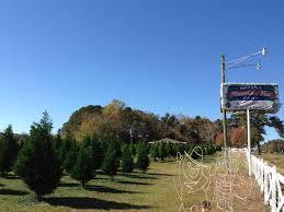 havana christmas tree farm u2013 tally connection tallahassee