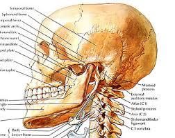 Neck Cross Sectional Anatomy Anatomy Print Abdominal Walls And Viscera Cross Section