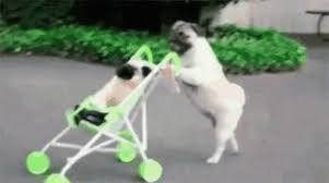 bichon frise gif the popular dogs gifs everyone u0027s sharing