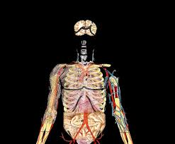 Picture Diagram Of The Human Body Human Body Archives Page 58 Of 60 Human Anatomy Chart