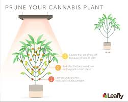 Best Plants For No Sunlight Your Guide To Pruning Cannabis Plants For Maximum Yield Leafly
