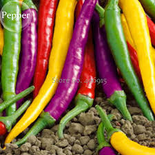 shop mixed colorful colorful pod pepper chili 50 seeds