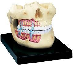 Human Jaw Bone Anatomy Anatomy Of Human Jaw Human Jaw Bone Anatomy Human Anatomy Diagram