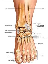 Anterior Fibular Ligament Anatomy Of The Foot U0026 Ankle Total Ankle Replacement