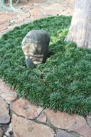 25 trending ophiopogon japonicus ideas on grow grass