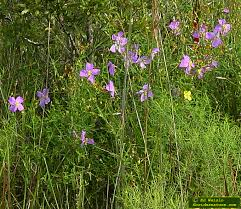 Florida State Wild Flower - blue florida wildflowers page 1 of 3