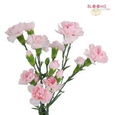 Wholesale Carnations Mini Carnations Pink Wholesale Blooms By The Box