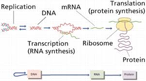 Dna Rna And Protein Synthesis Worksheet Protein Synthesis