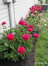growing peonies peony gardens and growing peonies