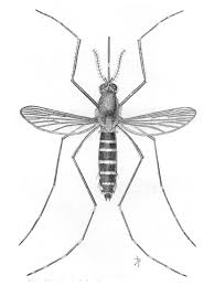 mosquito drawing u2014 burleigh county extension