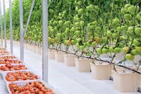 vertical hydroponic tomato gardening u2013 garden ftempo